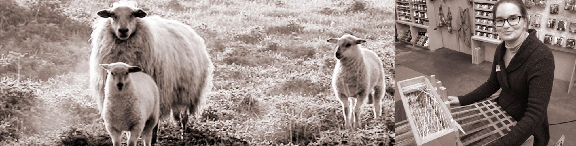 schapen haasdal schimmert poortenfeest